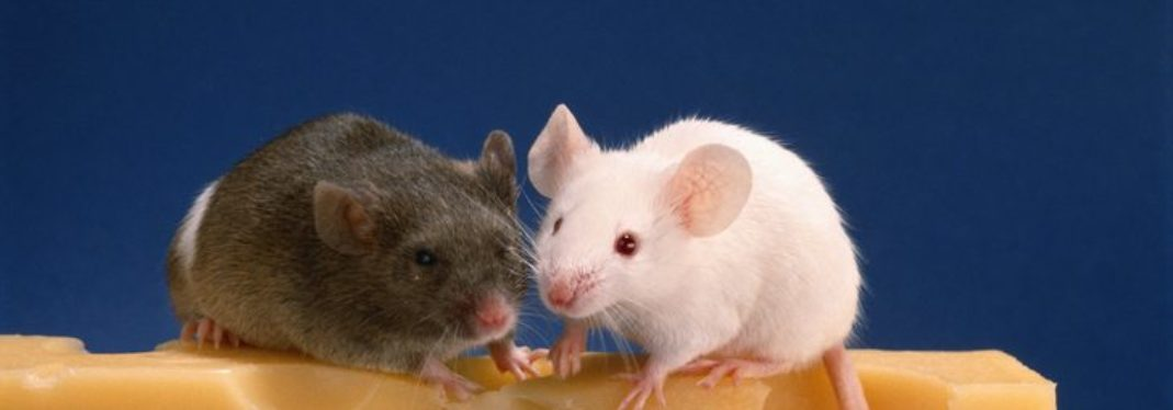 New Study Shows What Mice Can Teach Us About Our Oral Health